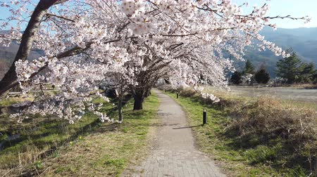Walking on a Riverside Path under Cherry Blossoms Stock Footage