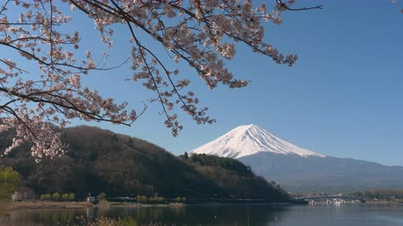 Mt. Fuji and Cherry Blossoms at Lake Kawaguchi (zoom in)