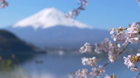 fuji : Mt. Fuji and Cherry Blossoms at Lake Kawaguchi (rack focuszoom in)