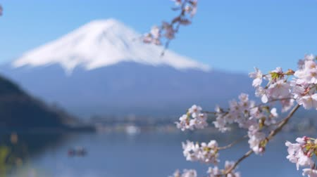 rastrelliera : Mt. Fuji e Cherry Blossoms at Lake Kawaguch (Rack Focus  Panning)