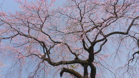 spring breeze : Weeping Cherry Blossoms (zoom in) Stock Footage