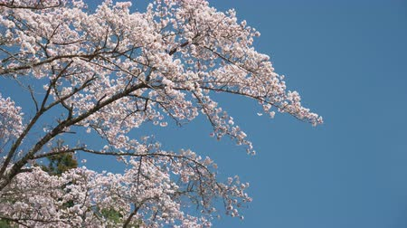 oriental cherry tree : Cherry Blossoms Swaying in the Wind (tilt up)