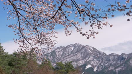 oriental cherry tree : Cherry Blossoms with Snowy Mountains in the Background (Tilt Down) Stock Footage