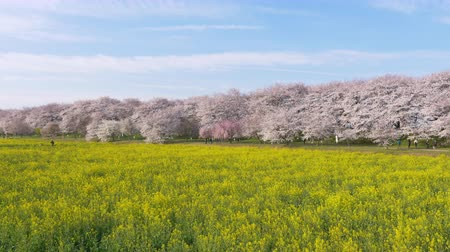 kolza tohumu : Cherry Blossoms over Canola Blossoms (zoom in): Gongendo, Satte City, Saitama Pref., Japan Stok Video