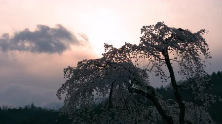 genérico : Cherry Blossoms Swaying in the Wind at Sunset