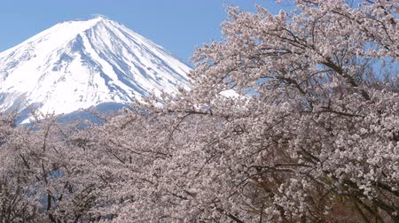 snowcapped : Mt. Fuji over Cherry Blossoms (panning)