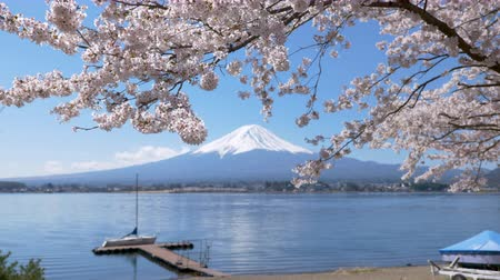 mt : Mt. Fuji under Cherry Blossoms at Lake Kawaguchi Stock Footage