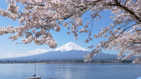 mt : Mt. Fuji under Cherry Blossoms at Lake Kawaguchi (zoom in)