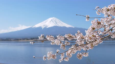 Mt. Fuji under Cherry Blossoms at Lake Kawaguchi (panning)