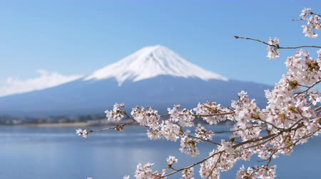 Mt. Fuji over Cherry Blossoms at Lake Kawaguchi (zoom out)