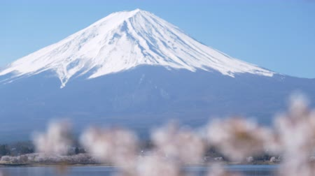 Mt. Fuji over Cherry Blossoms at Lake Kawaguchi (close up, rack focus)