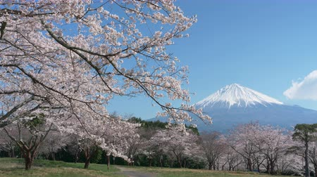 grande angular : Mt. Fuji over Cherry Blossoms on a Hazy Day (time lapsetilt down) Vídeos