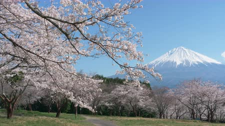 lápide : Mt. Fuji with Cherry Blossoms on a Sunny Spring Day (Left to Right Panning)