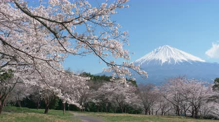 mt : Mt. Fuji with Cherry Blossoms on a Sunny Spring Day (Right to Left Panning)