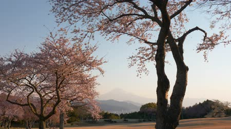 Mt. Fuji and Cherry Blossoms on a Hill Lit by the Sunrise (Tilt Down)