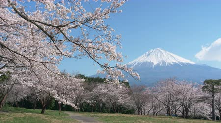 Mt. Fuji over Cherry Blossoms on a Sunny Spring Day (Zoom In)