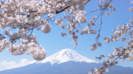Mt. Fuji under Cherry Blossoms on a Sunny Spring Day Stock Footage