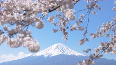 Mt. Fuji under Cherry Blossoms on a Sunny Spring Day (Tilt Down)