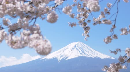 Mt. Fuji under Cherry Blossoms on a Sunny Spring Day (Panning)
