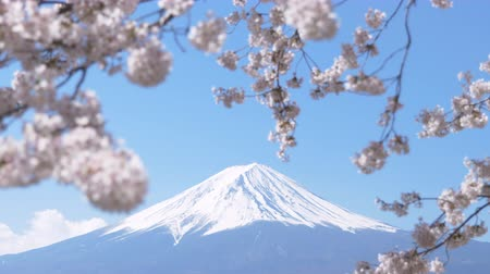 Mt. Fuji under Cherry Blossoms on a Sunny Spring Day (Zoom In)
