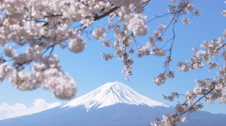 snowcapped : Mt. Fuji under Cherry Blossoms on a Sunny Spring Day (Zoom Out)
