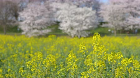 Cherry Blossoms over Canola Blossoms: Gongendo, Satte City, Saitama Pref., Japan