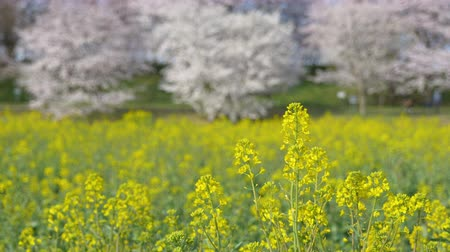 Cherry Blossoms over Canola Blossoms (Zoom In): Gongendo, Satte City, Saitama Pref., Japón