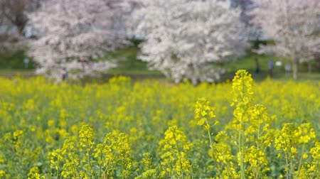 canola : Cherry Blossoms over Canola Blossoms (Rack FocusPanning): Gongendo, Satte City, Saitama Pref., Japan
