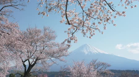 Mt. Fuji Under a Cherry Tree in Full Bloom (Tilt Down)