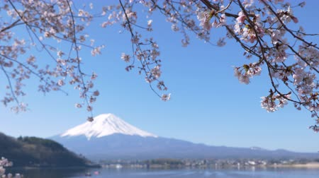 Mt. Fuji with Cherry Blossoms at Lake Kawaguchi (Panning)