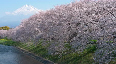 Mt. Fuji over a River with Cherry Trees in Bloom (Ryugenbuchi, Urui River, Fuji City, Shizuoka Pref., Japan)
