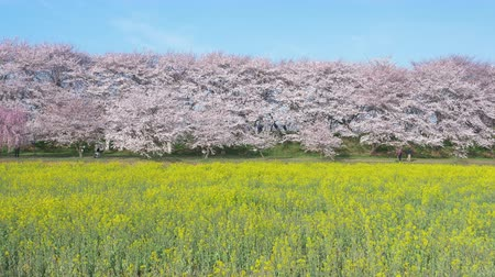 canola : Cherry Blossoms over Canola Blossoms Under a Blue Sky (Zoom Out): Gongendo, Satte City, Saitama Pref., Japan