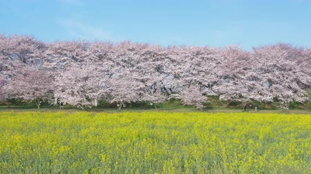 trikolóra : Cherry Blossoms over Canola Blossoms Under a Blue SKy (Panning): Gongendo, Satte City, Saitama Pref., Japan
