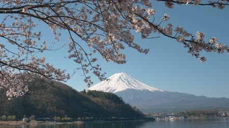 monte Fuji y flores de cerezo en el lago Kawaguchi (inclinación) Archivo de Video