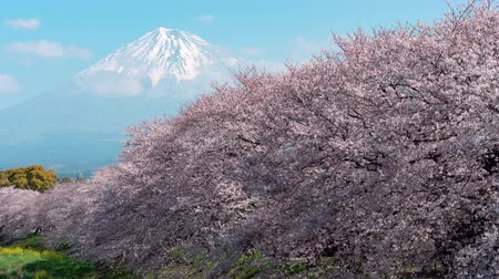 attractie : Mt. Fuji over een rij kersenbomen in bloei (Time Lapse  Tilt Up)