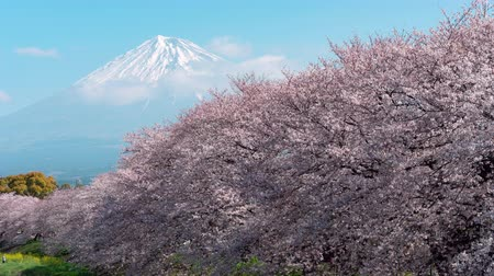 attractie : Mt. Fuji over een rij kersenbomen in bloei (time-lapse) Stockvideo