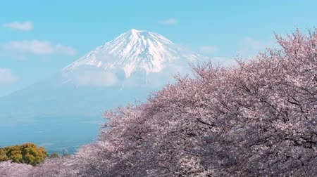 margem do rio : Mt. Fuji over a Line of Cherry Trees in Bloom (Time LapseZoom In)