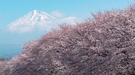 Mt. Fuji over a Line of Cherry Trees in Bloom (Time LapsePanning)