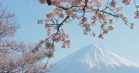 Mt. Fuji with Cherry Blossoms on a Sunny Spring Day in Shizuoka Tilt Down Stock Footage