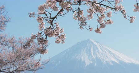 Mt. Fuji with Cherry Blossoms on a Sunny Spring Day in Shizuoka (Zoom In)