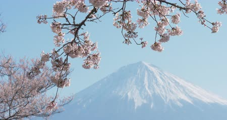 oriental cherry tree : Mt. Fuji with Cherry Blossoms on a Sunny Spring Day in Shizuoka Zoom Out