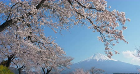 snowcapped : Mt. Fuji with Cherry Blossoms on a Sunny Spring Day in Shizuoka (Loop) Stock Footage