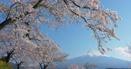 snowcapped : Mt. Fuji with Cherry Blossoms on a Sunny Spring Day in Shizuoka Tilt Down Stock Footage