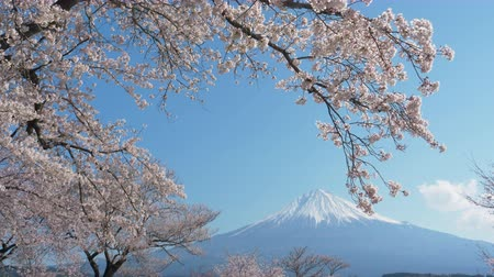 Mt. Fuji with Cherry Blossoms on a Sunny Spring Day in Shizuoka Zoom Out