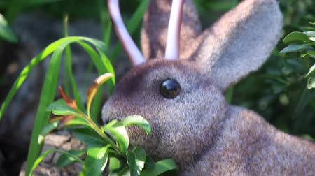 západ : Wild Jackalope Browses on Leaves