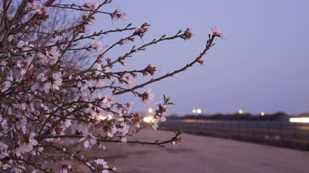 morele : Blossoms along Highway 99 in Californias San Joaquin Valley Wideo