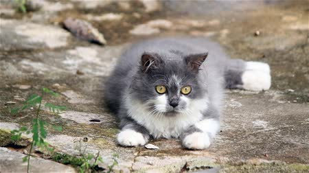 grey cat : Persian cat sit leisurely
