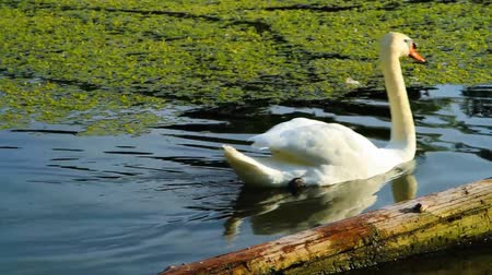 günlüğü : A beautiful white swan swimming in the lake with two ducks sitting on an old log above the water