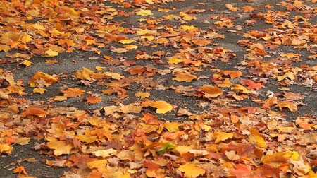 brilliant fall foliage : Rust-colored Autumn leaves on the ground Stock Footage