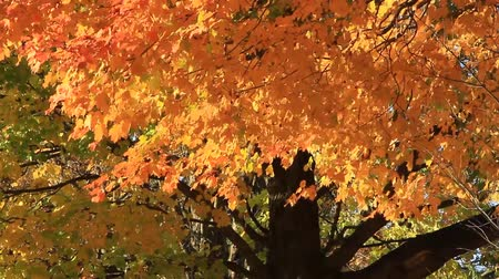 brilliant fall foliage : Autumn foliage of vibrant sunset colors of orange, yellows and reds